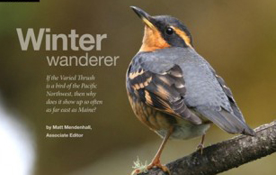 Species profile: Winter wanderer, Varied Thrush
