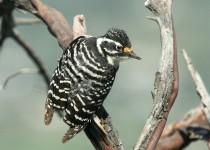 Woodpecker-Nuttall-2013-04-08-078