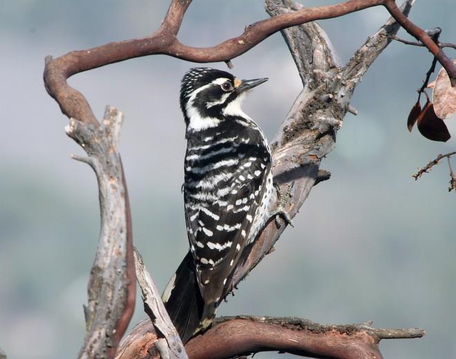Woodpecker-Nuttall2339bs2013-03-26155