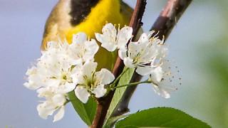 Yellowthroat-Common-6778
