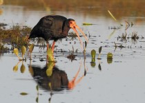 bare-faced-ibis