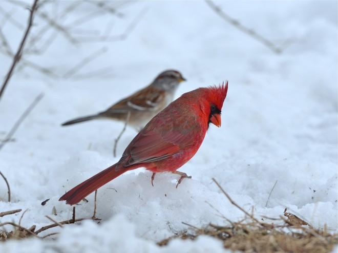 bobvt_20130323_cardinal102b