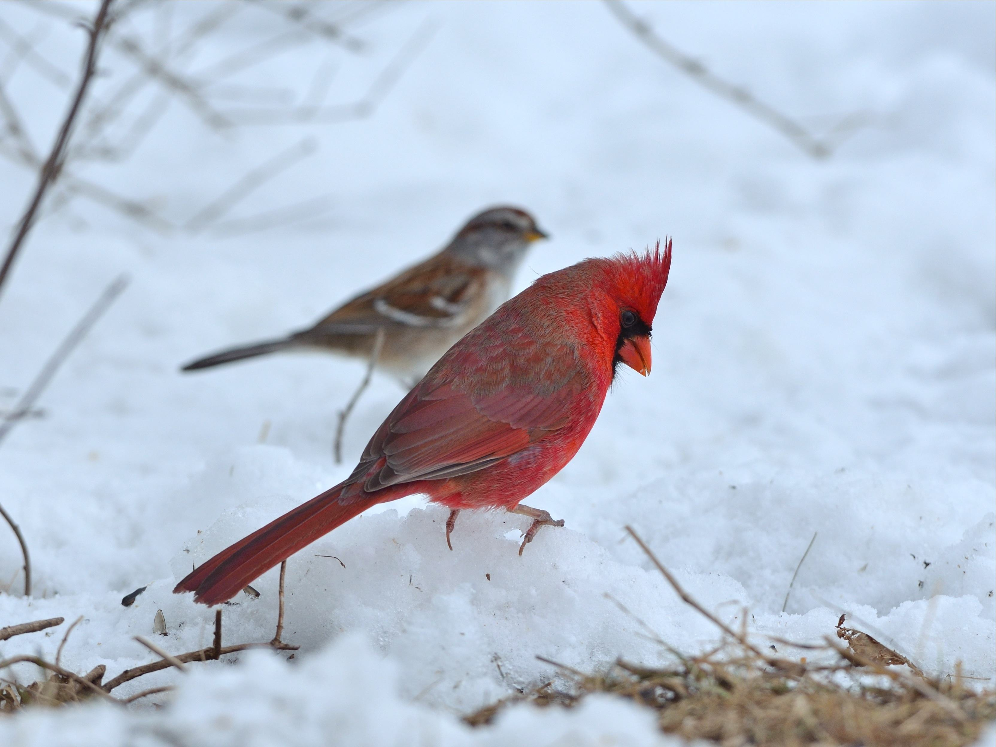 Northern Cardinal and American Tree Sparrow