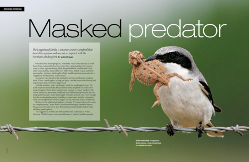 Species profile: Masked predator, Loggerhead Shrike