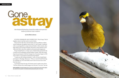 Species profile: Evening Grosbeak – Gone astray