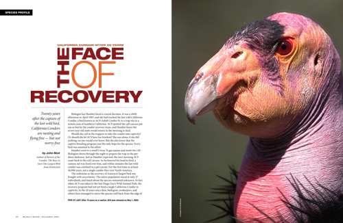Species profile: California Condor, an endangered species, after 20 years of recovery efforts