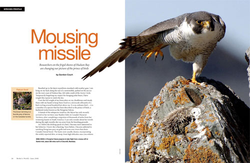 Species profile: Watching and studying Peregrine Falcons at Rankin Inlet, Nunavut, Canada