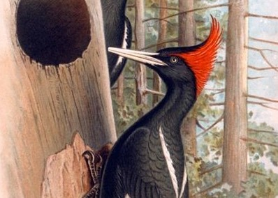 Description, range, habits, and credible sightings of the Imperial Woodpecker