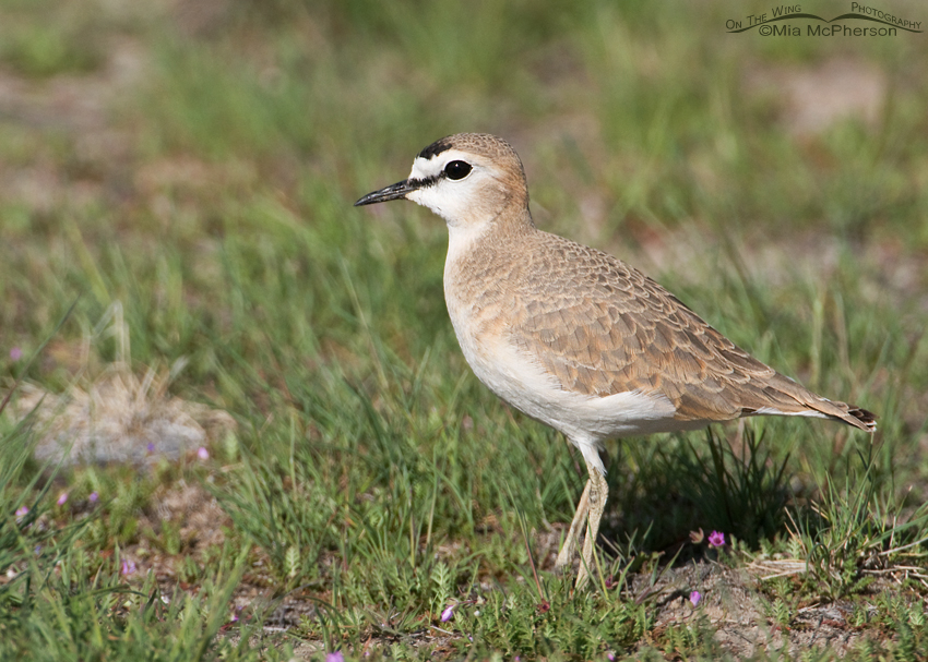 New shorebird population estimates show few increases, consistent long-term declines