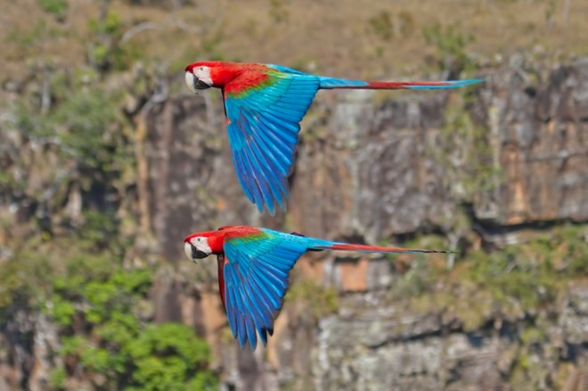 red-and-green-macaws