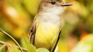 short-crested-flycatcher
