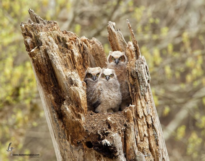 Great Horned Owls at Brecksville Reservation, Cleveland, Ohio, by Joshua Clark.