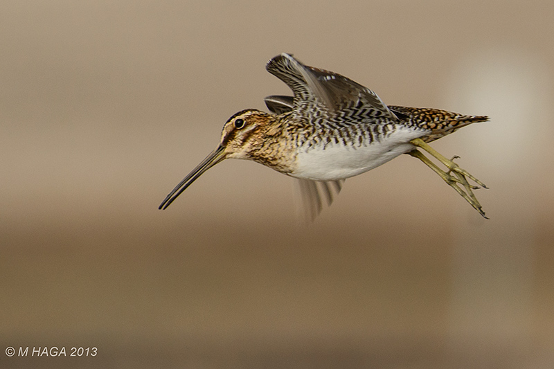 eBird maps show widespread fall movement of Wilson's Snipe