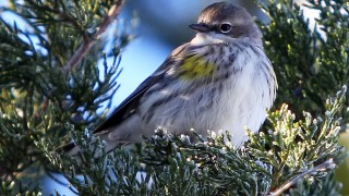 Yellow-Rumped Warbler, favorite, Favorite