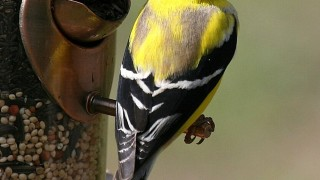 American-Goldfinch-Male