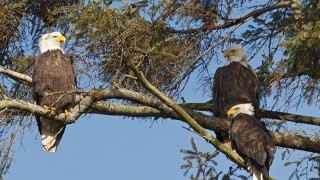 Bald Eagles at Boundary Bay, Vancouver, British Columbia, January 2011 by westcoastbirder.
