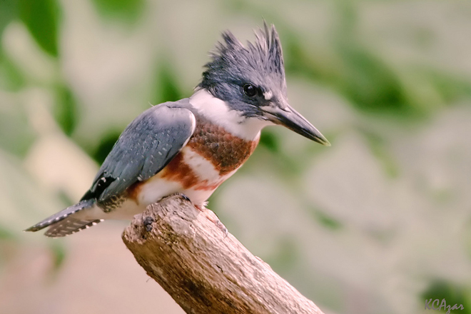 Why kingfishers sometimes turn themselves into aerial battering rams