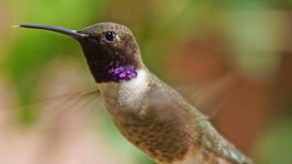Birdwatching-74.-Black-chinned