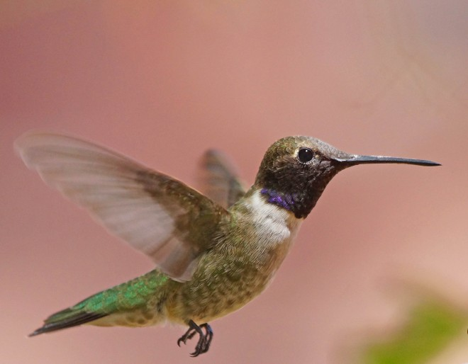 Birdwatching-76.-Black-chinned