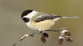 Black-capped-chickadee