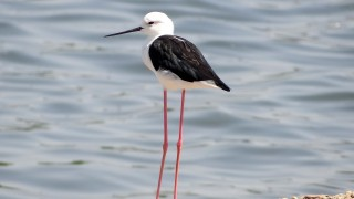 Black-winged-Stilt