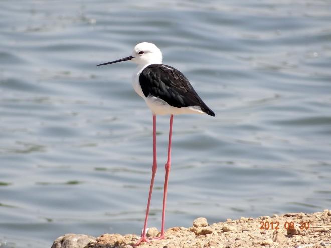 Black-winged-Stilt