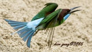 Blue-Throated-Bee-Eater-in-Flight-Watermark