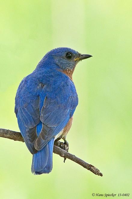 Bluebird-Eastern-13-0402