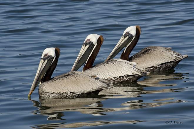 Brown-Pelicans-01