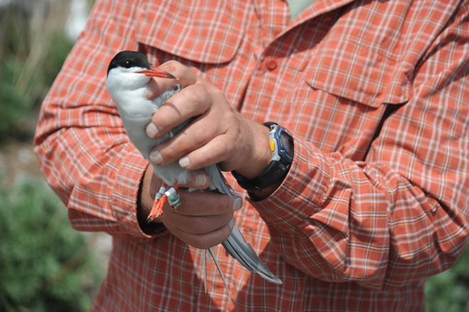 Researchers hope geolocators reveal Common Tern stopovers, migration routes