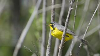 Canada-Warbler-1