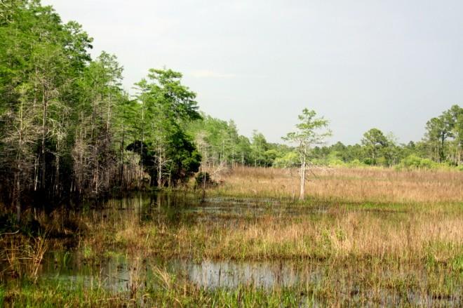 Corkscrew-Swamp-from-Boardwalk