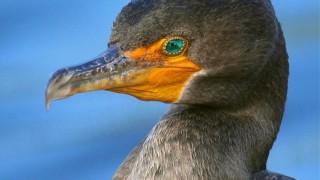 Cormorant-Portrait