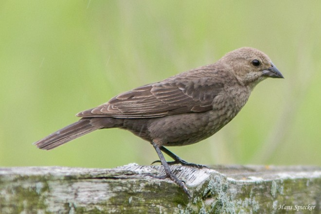 Cowbird-Brown-headed-13-7420