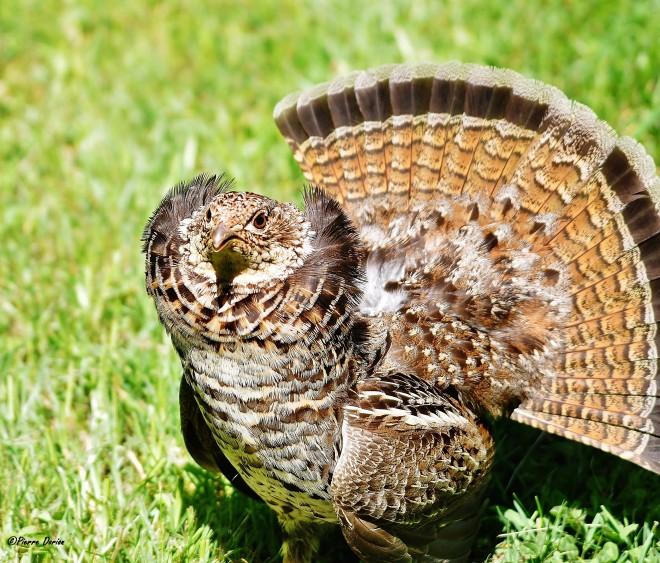 Gélinotte huppée essayant de me faire peur, sans doute pour protéger son nid