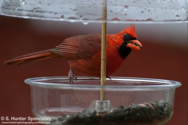 DSC_5642-Northern-Cardinal