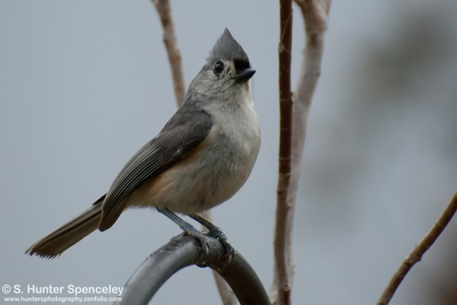 DSC_5645-Tufted-Titmouse