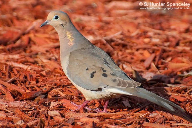 DSC_6167-Mourning-Dove