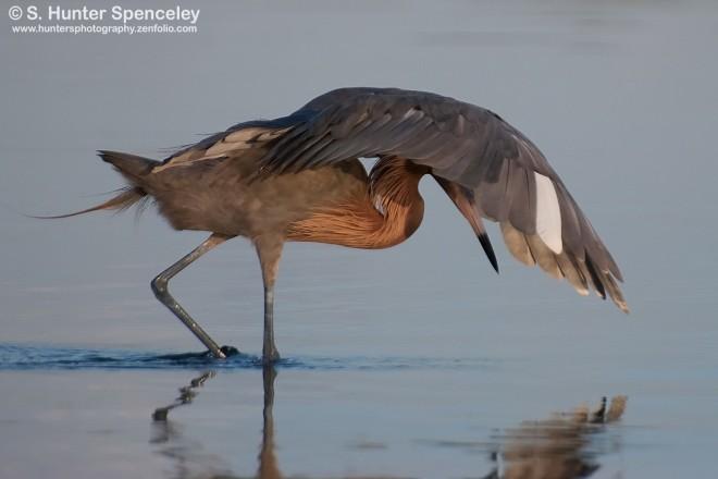 DSC_6646-Reddish-Egret