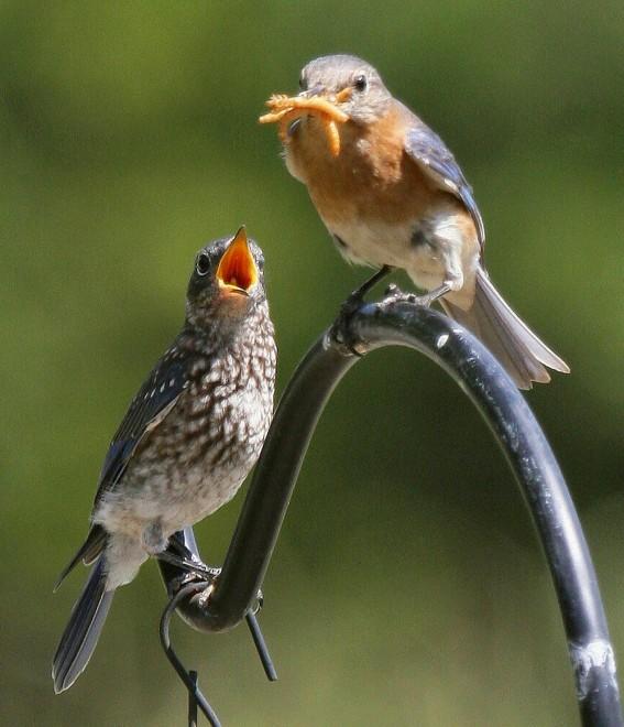Eastern-Bluebirds-feeding