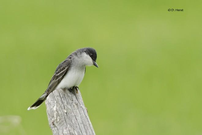 Eastern-Kingbird-2