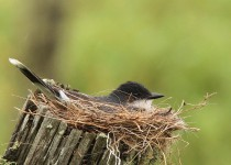 Eastern Kingbird by crayne.