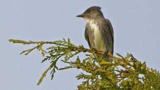 Flycatcher-Olive-sided-13-7529