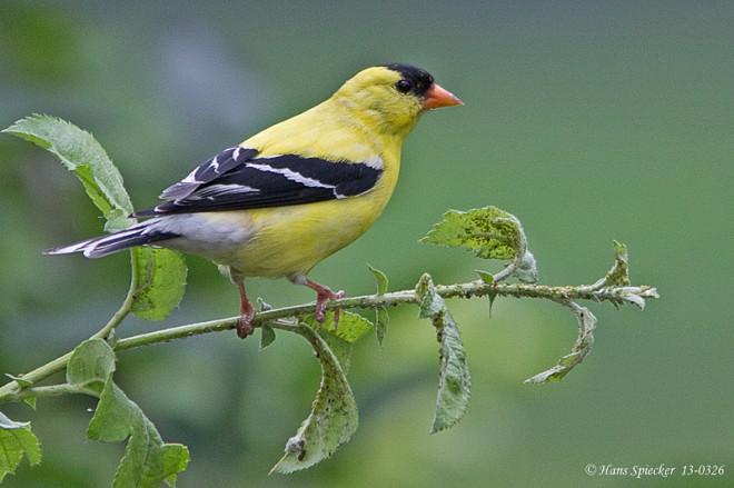 Goldfinch-American-13-0326