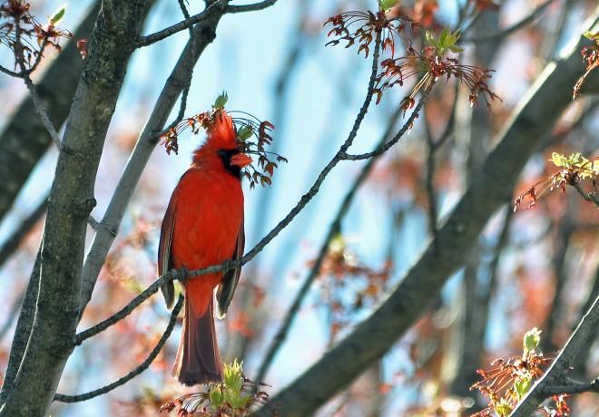 Good-Male-Cardinal-45