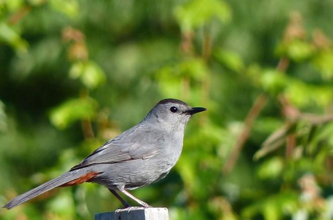 GrayCatbirdforweb