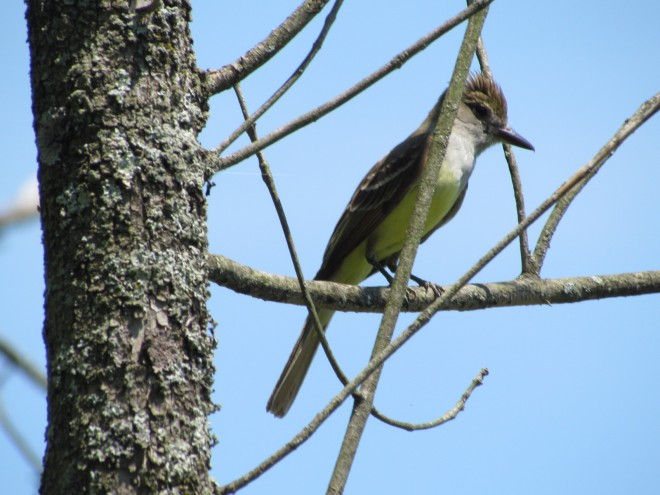 Great-Crested-dreep