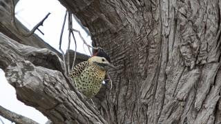 Green-barred-woodpecker-6