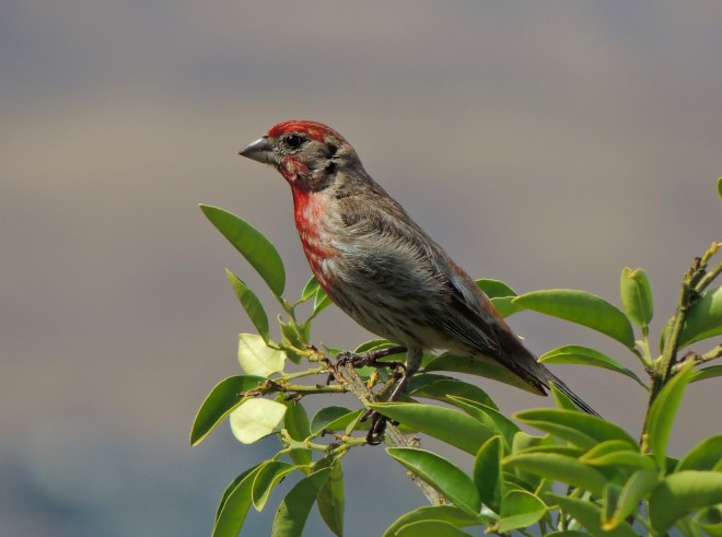 House-Finch-1