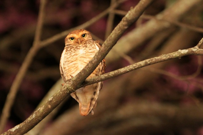 Ferruginous Pygmy-Owl photographed in Brazil by docdpp